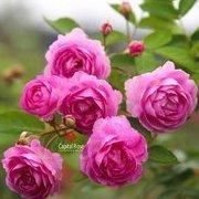 rose95